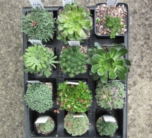 Saxifraga collection, 12 plants