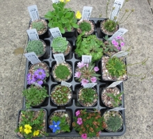 Alpine House 20 plants