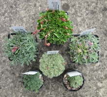 Saxifraga Collection, 6 plants