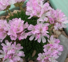 Armeria juniperifolia (AVAILABLE TO BUY FROM MARCH 2021)