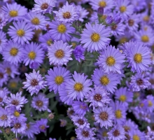 Aster novi-belgii 'Audrey' (AVAILABLE TO BUY FROM END SEPT 2020)