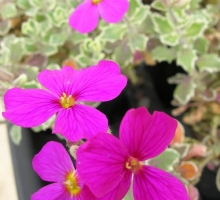 Aubrieta 'Swan Red'