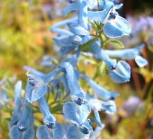 Corydalis 'Kingfisher' AGM (AVAILABLE TO BUY FROM MAY 2019)