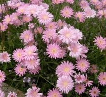Crepis incana  (AVAILABLE TO BUY FROM MAY 2021)