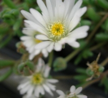 Delosperma 'Graaf Reinet (AVAILABLE TO BUY FROM MAY 2021)
