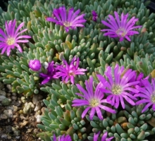Delosperma sphalmanthoides (AVAILALE TO BUY FROM JULY 2018)