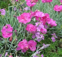 Dianthus 'Slack's Cerise' (AVAILABLE TO BUY FROM JUNE 2021)