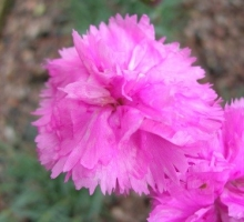 Dianthus 'Whatfield Cancan' AGM (AVAILABLE TO BUY FROM MAY 2018)