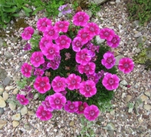 Dianthus alpinus red form (AVAILABLE TO BUY FROM JULY 2021)