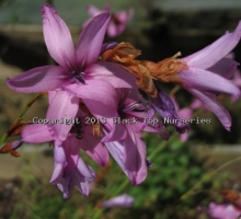 Dierama pauciflorum (AVAILABLE TO BUY FROM JUNE 2020)