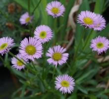 Erigeron compositus 'Rocky' (AVAILABLE TO BUY FROM APRIL 2021)