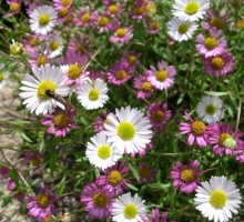 Erigeron karvinskianus (AVAILABLE TO BUY FROM MID JUNE 2018)