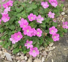 Erodium x variabile Bishops Form AGM