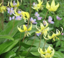 Erythronium 'Pagoda' AGM (AVAILABLE TO BUY FROM JULY)