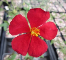 Helianthemum 'Red Dragon (AVAILABLE TO BUY FROM MAY 2021)