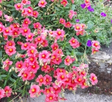 Helianthemum 'Strawberry Fields' (AVAILABLE TO BUY FROM MAY 2021)
