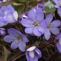 Hepaticas open the season!