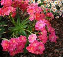 Lewisia cotyledon 'Slack Top Strain'  (AVAILABLE TO BUY FROM JULY 2021)
