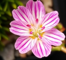 Lewisia columbiana ssp. wallowensis