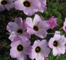 Oxalis 'Anne Christie' (AVAILABLE TO BUY FROM APRIL 2020)
