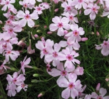 Phlox douglasii 'Kelly's Eye'