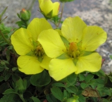 Potentilla eriocarpa (AVAILABLE FROM APRIL)