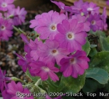Primula marginata 'Highland Twilight'