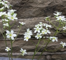 Saxifraga 'Silver Maid' (AVAILABLE TO BUY IN MAY 2021)
