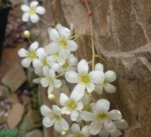 Saxifraga 'Esther' (AVAILABLE TO BUY FROM MAY 2021)