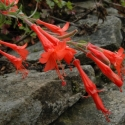 Adding late alpine colour to your garden